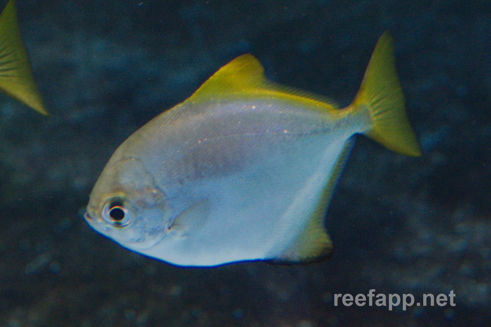 mono argentus monodactylus argenteus in aquarium