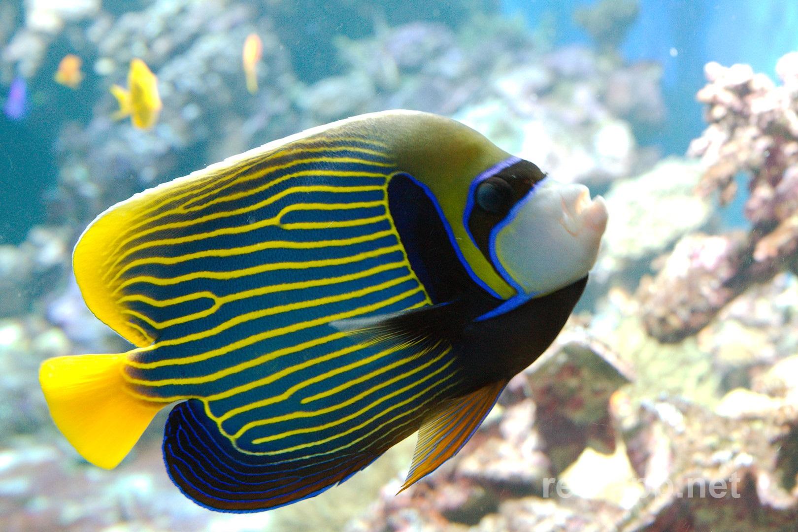 Emperor Angelfish (Pom...
