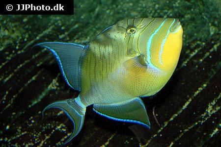queen triggerfish balistes vetula in aquarium