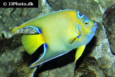 Queen angelfish holacanthus ciliaris in aquarium for Queen angel fish