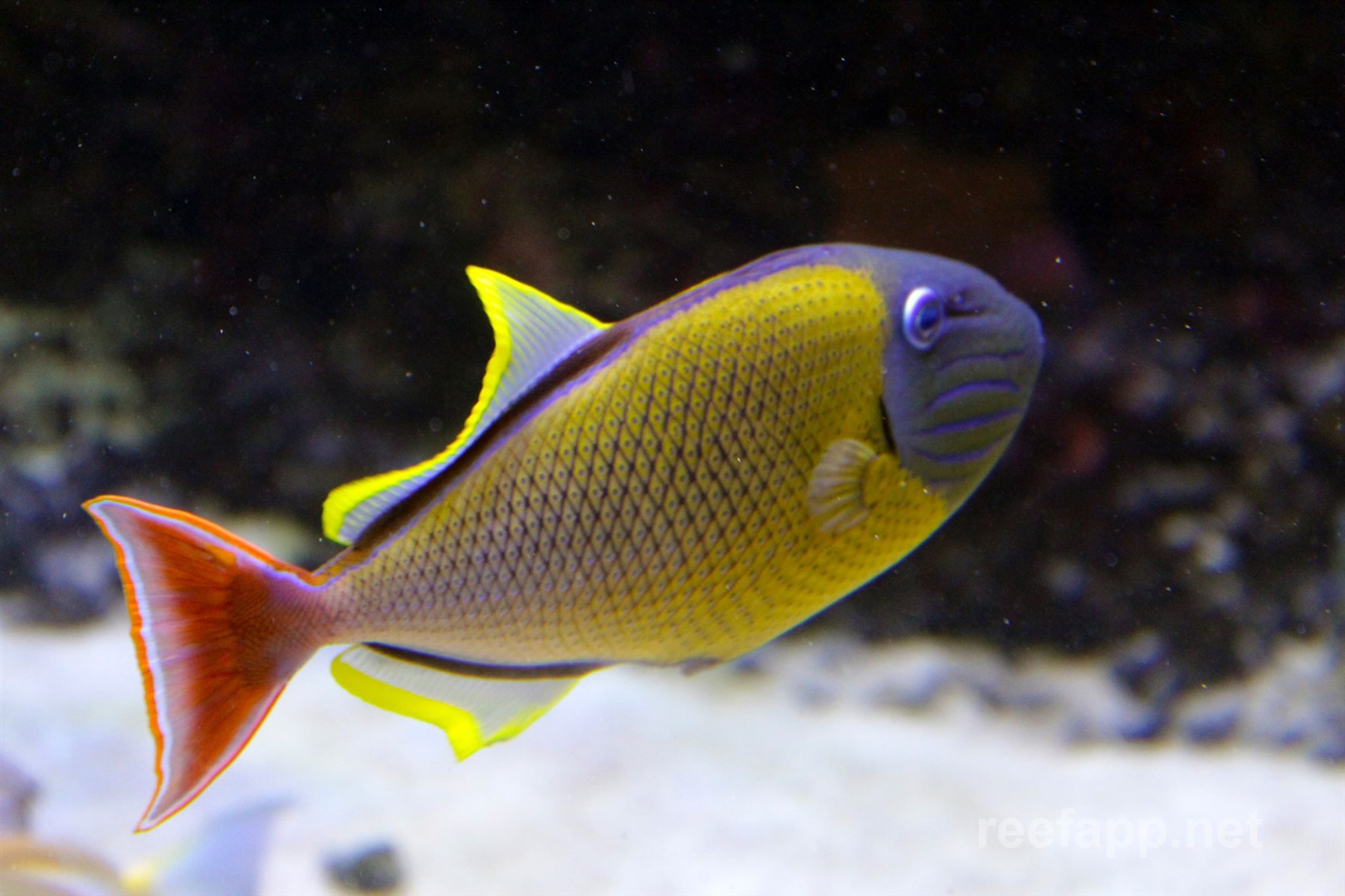 crosshatch triggerfish xanthichthys mento in aquarium