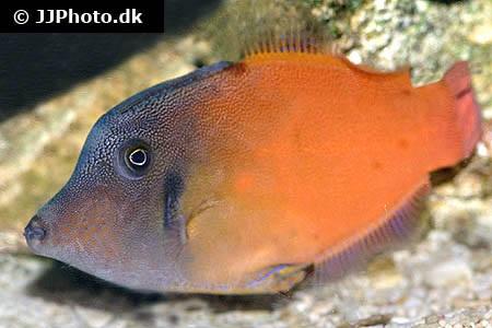 Redtail filefish pervagor melanocephalus in aquarium for Aiptasia eating fish