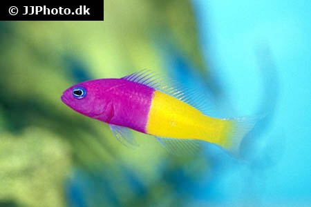 Dottyback Fish | Bicolor Dottyback Pictichromis Paccagnellae In Aquarium