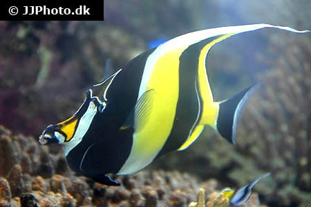 Moorish idol zanclus cornutus in aquarium for Moorish idol fish