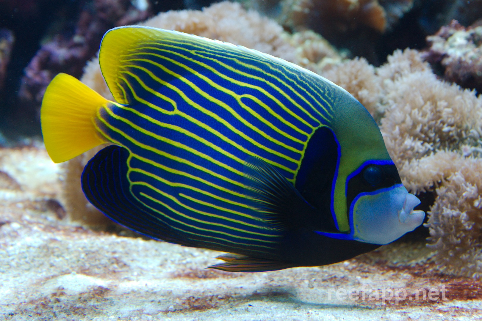 emperor angelfish changing - photo #15