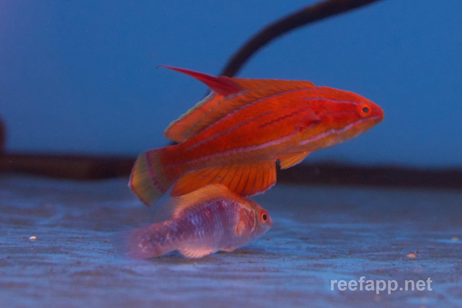 Yellowfin flasher wrasse (Paracheilinus flavianalis) in aquarium