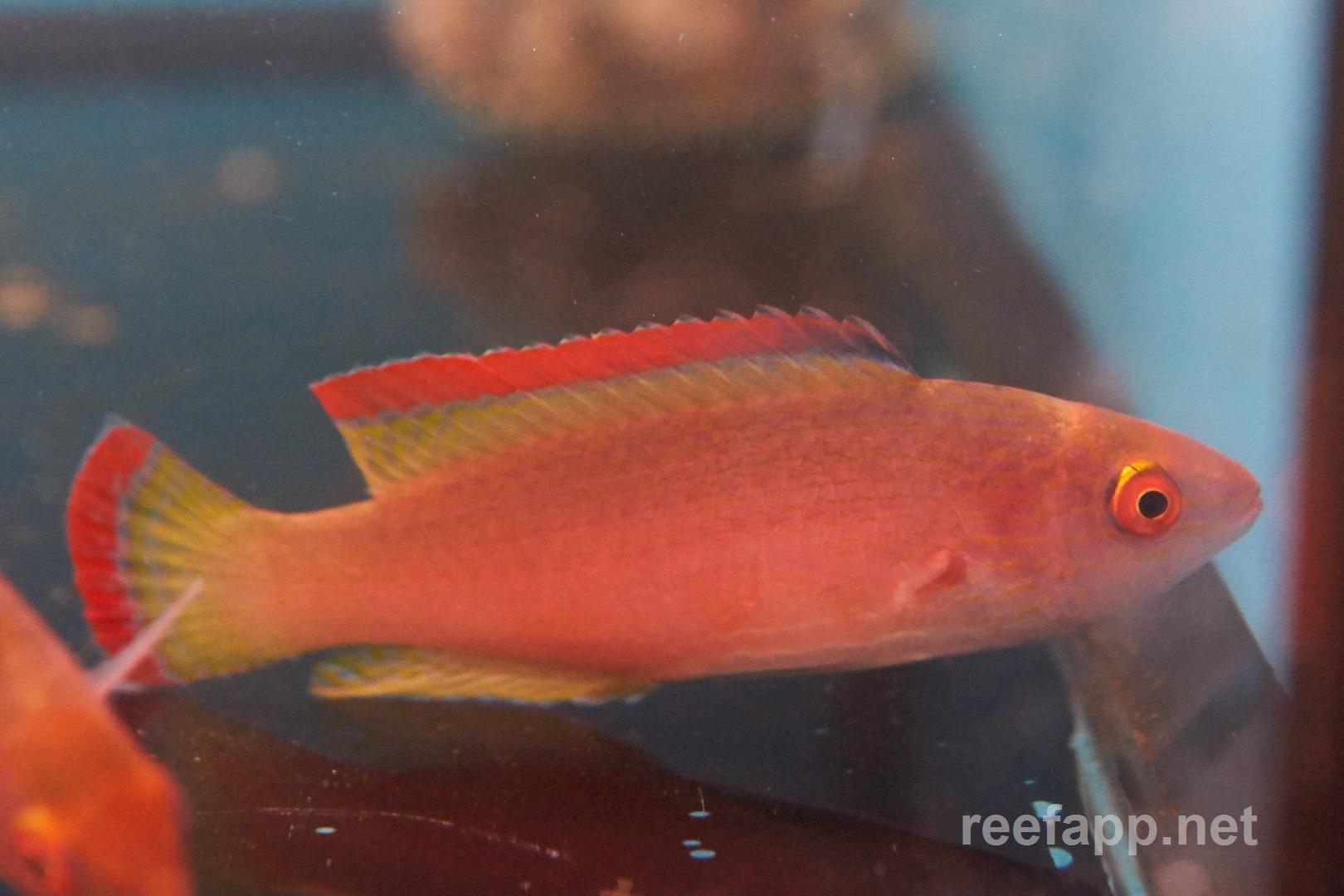Red-margined wrasse (Cirrhilabrus rubrimarginatus) in aquarium