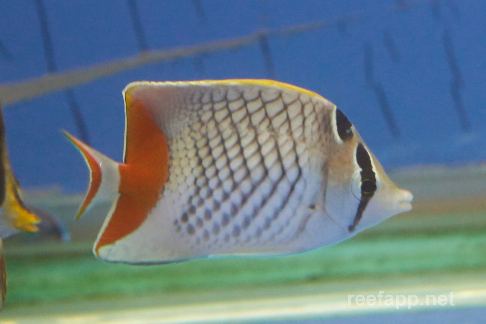 Pearlscale butterflyfish (Chaetodon xanthurus) in aquarium
