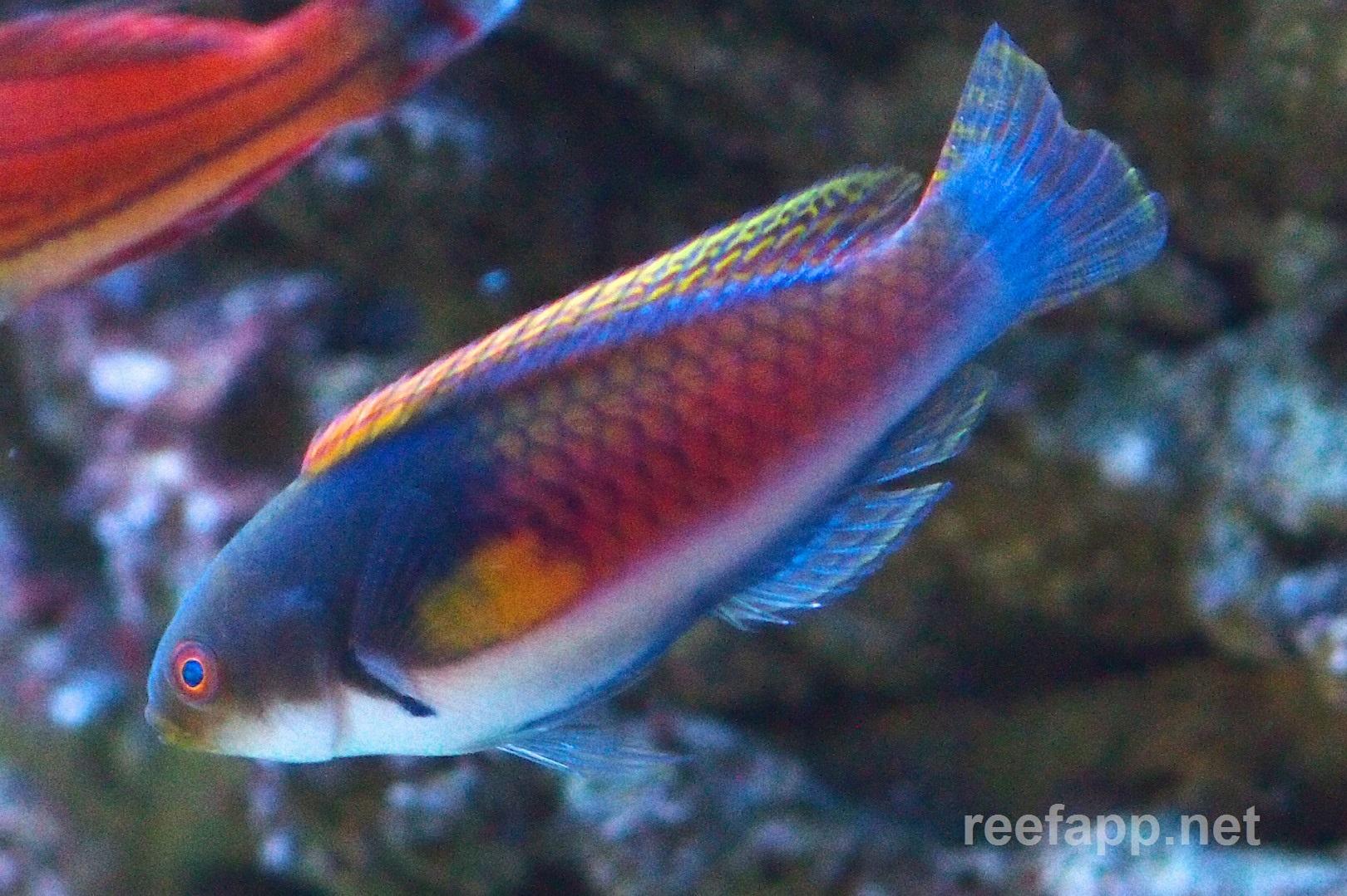 Blueside wrasse (Cirrhilabrus cyanopleura) in aquarium
