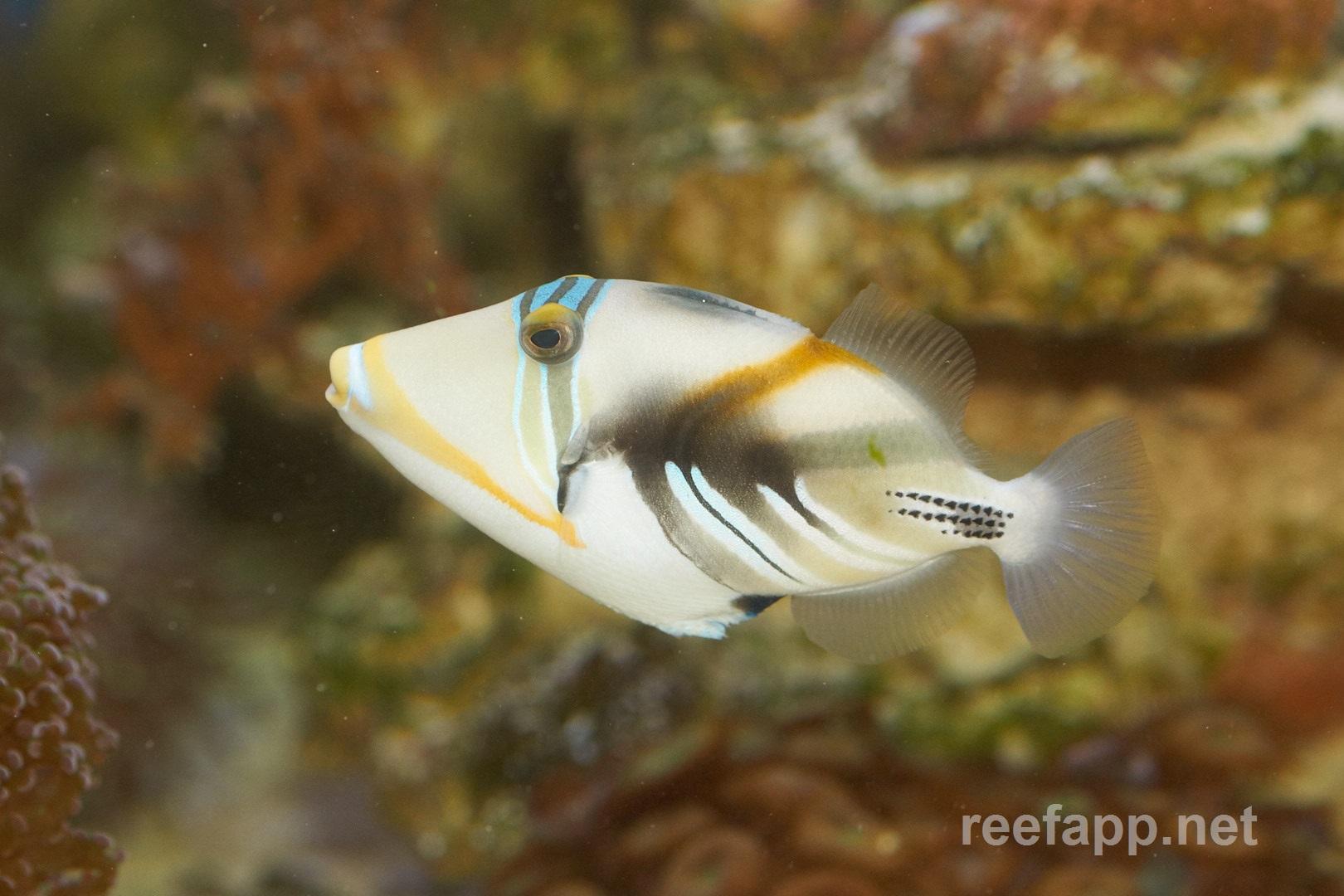 humu picasso triggerfish rhinecanthus aculeatus in aquarium