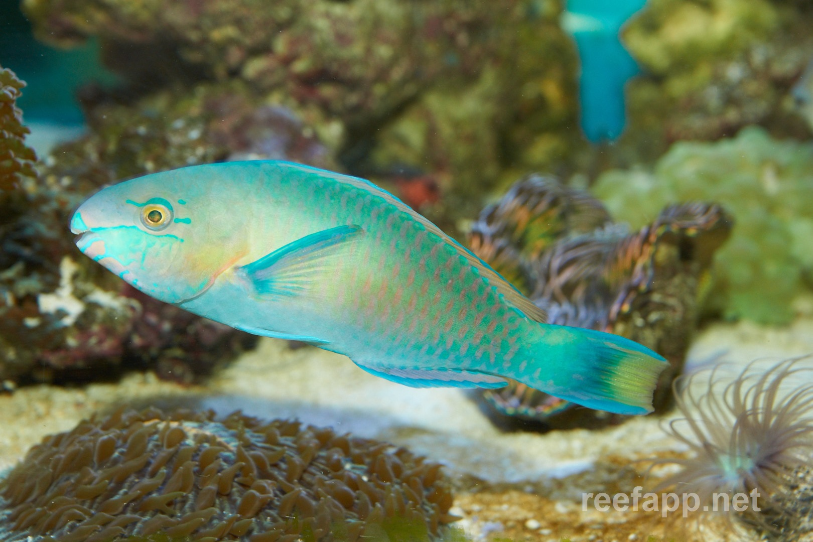 Green parrotfish scarus quoyi in aquarium for Pictures of parrot fish
