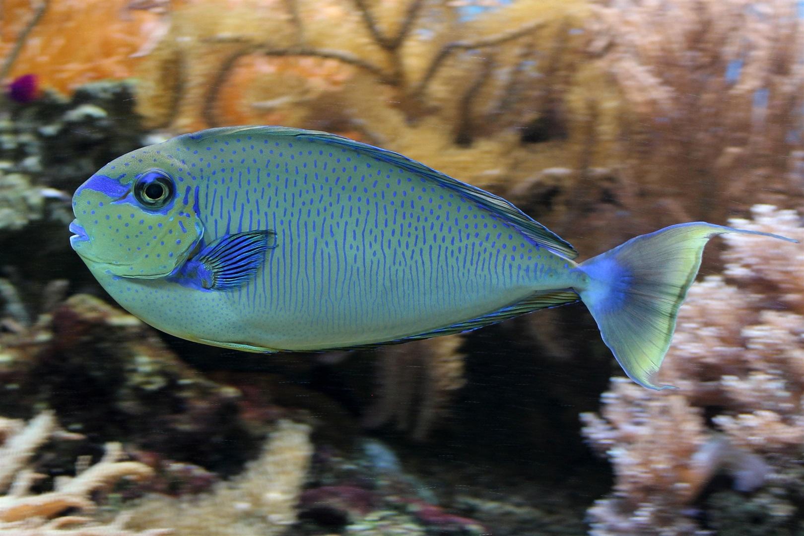 Masken Nasen Doktorfisch Naso Vlamingii Im Aquarium
