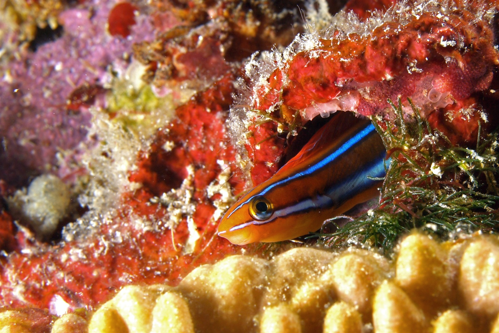 Bluestriped fangblenny (Plagiotremus rhinorhynchos) in aquarium