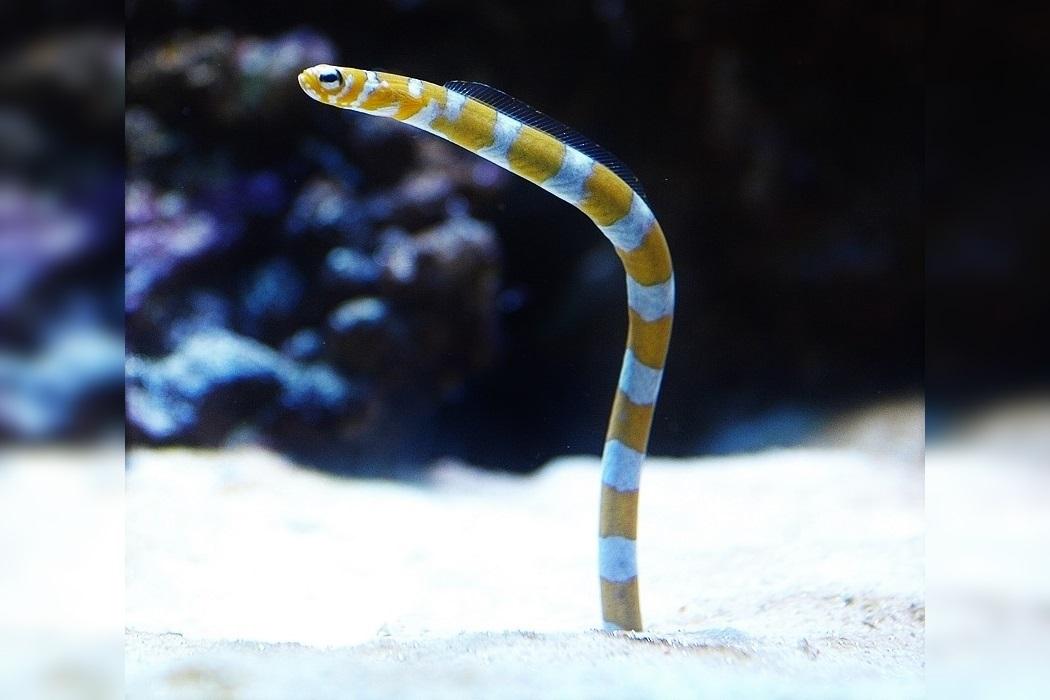 Splendid garden eel (Gorgasia preclara) in aquarium