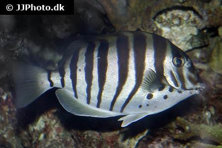 Acanthurus polyzona
