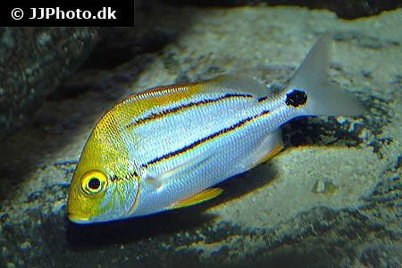 Anisotremus virginicus