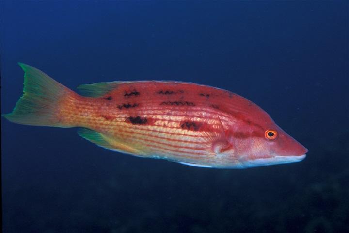 Bodianus unimaculatus