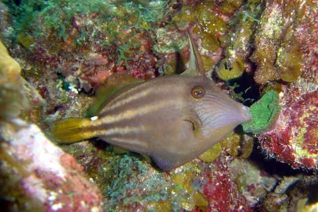 Cantherhines pullus