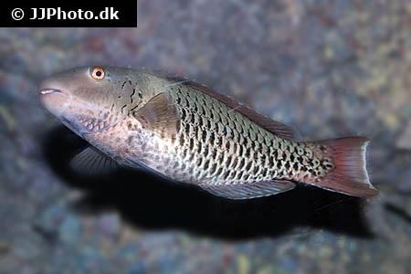 Cetoscarus ocellatus