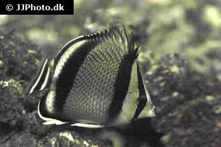 Chaetodon humeralis