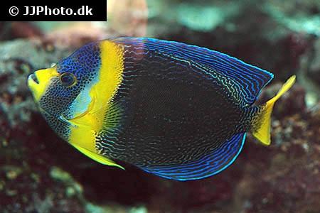 Chaetodontoplus duboulayi