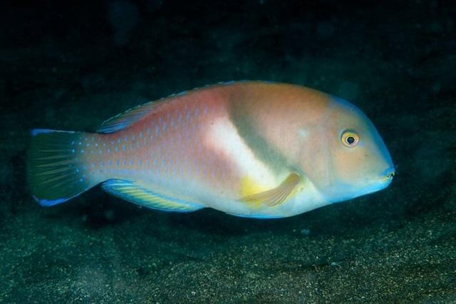 Choerodon azurio