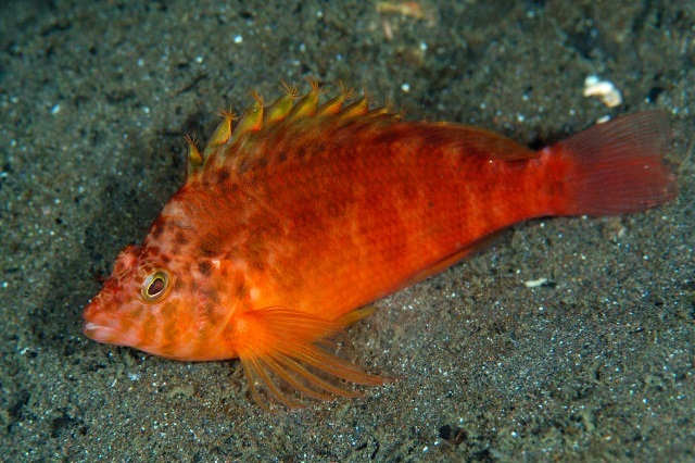 Cirrhitichthys aureus