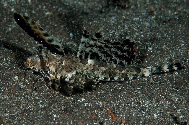 Dactylopus dactylopus