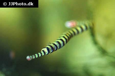 Dunckerocampus dactyliophorus