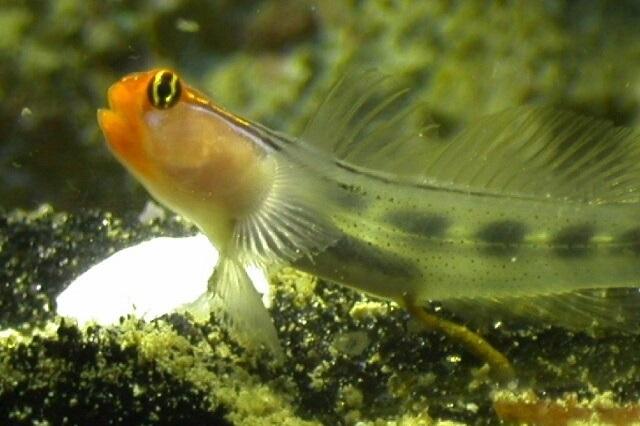 Elacatinus puncticulatus
