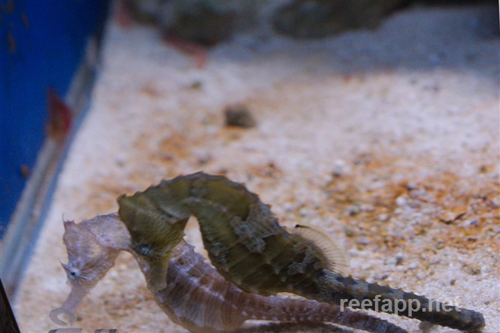 Hippocampus comes