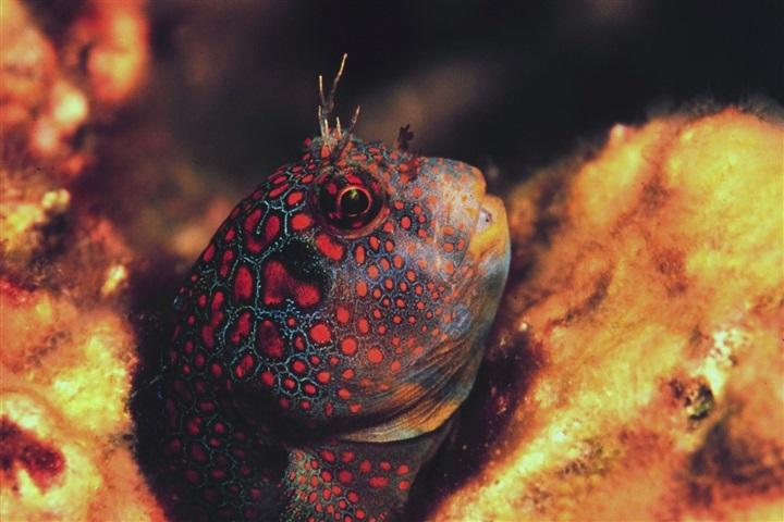 Hypsoblennius invemar