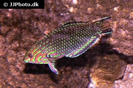 Macropharyngodon ornatus
