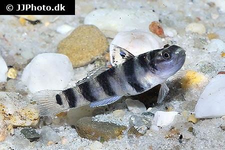 Mugilogobius tigrinus