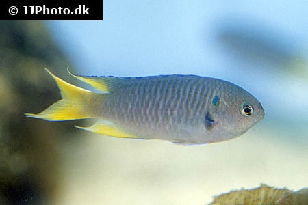 Neopomacentrus nemurus