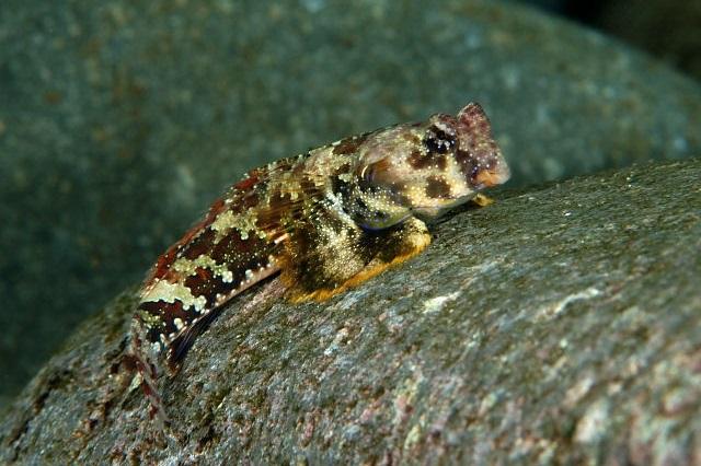 Neosynchiropus ocellatus