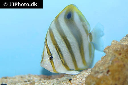 Parachaetodon ocellatus