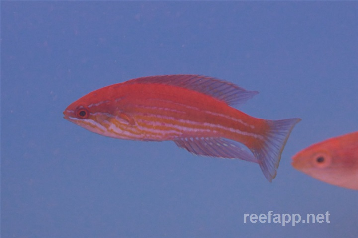Paracheilinus angulatus