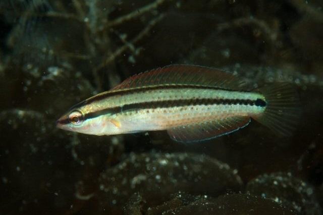 Parajulis poecilepterus