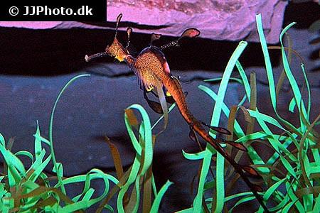 Phyllopteryx taeniolatus