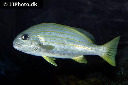 Plectorhinchus chrysotaenia