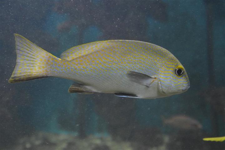 Plectorhinchus flavomaculatus