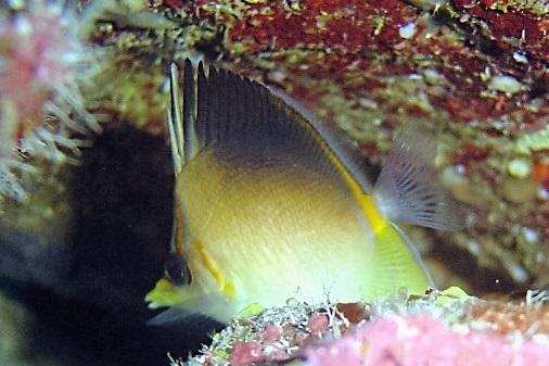 Prognathodes aculeatus