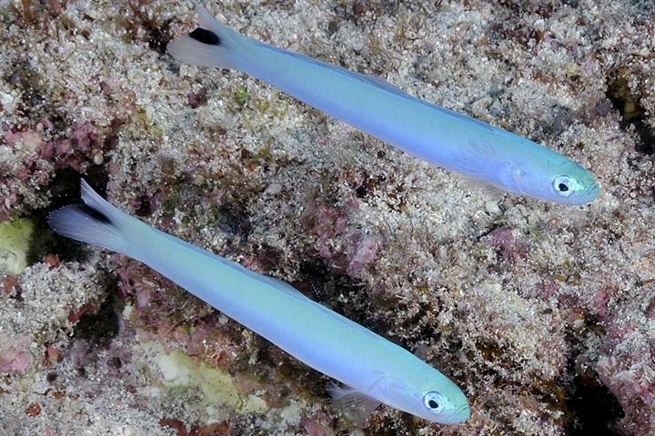 Ptereleotris heteroptera