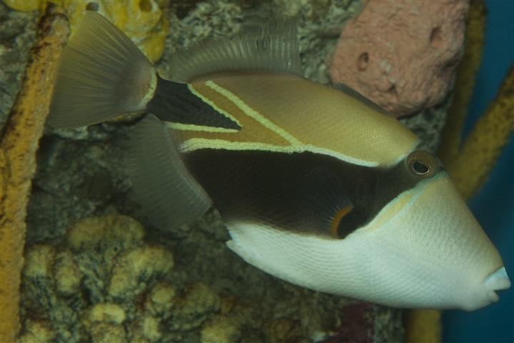 Rhinecanthus rectangulus