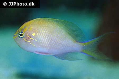 Serranocirrhitus latus