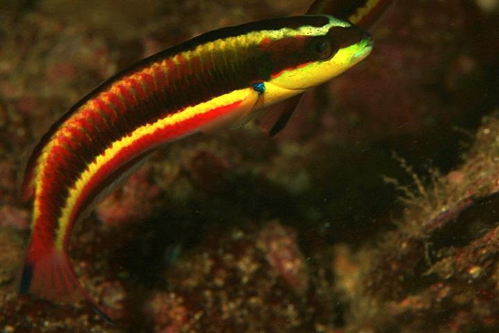 Thalassoma lucasanum