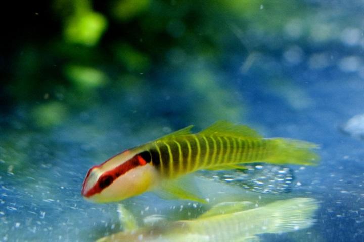 Tigrigobius multifasciatus