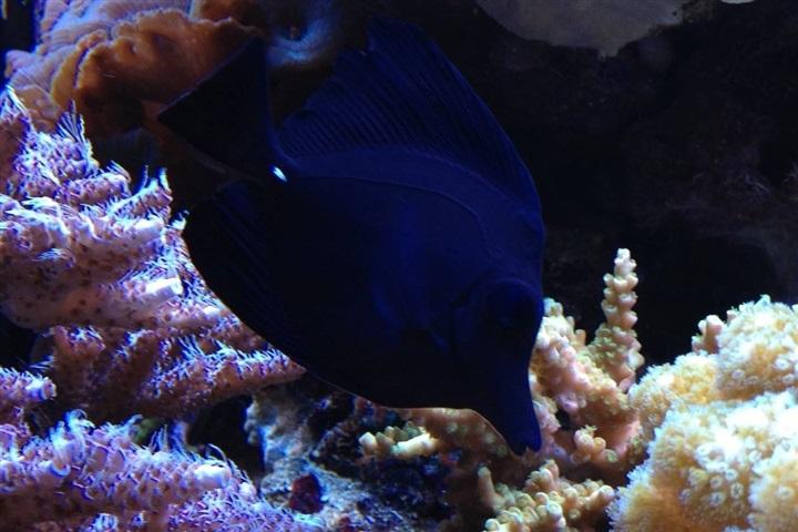 Zebrasoma rostratum