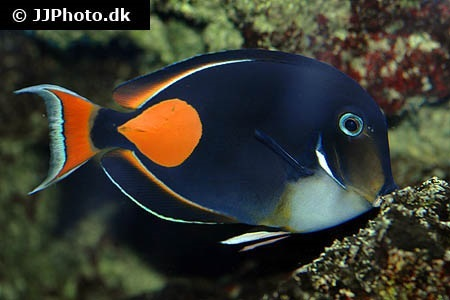 Surgeonfishes/Tangs (Acanthuridae)